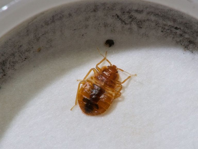 This is what a bed bug looks like. We know, gross! Picture: Getty