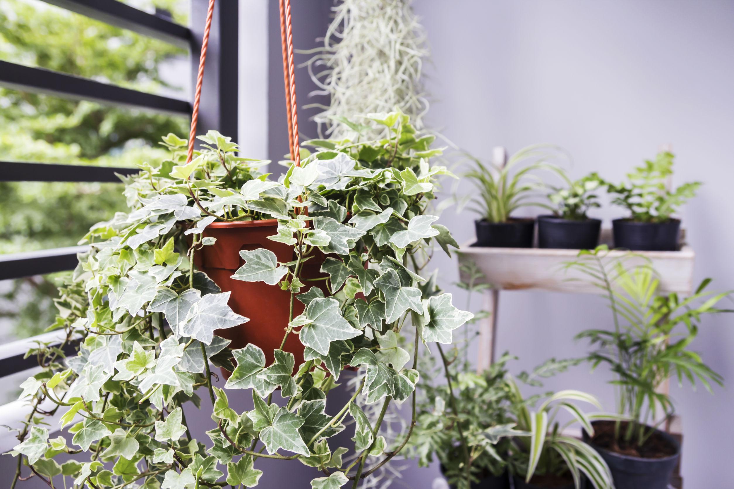 english ivy indoor plants