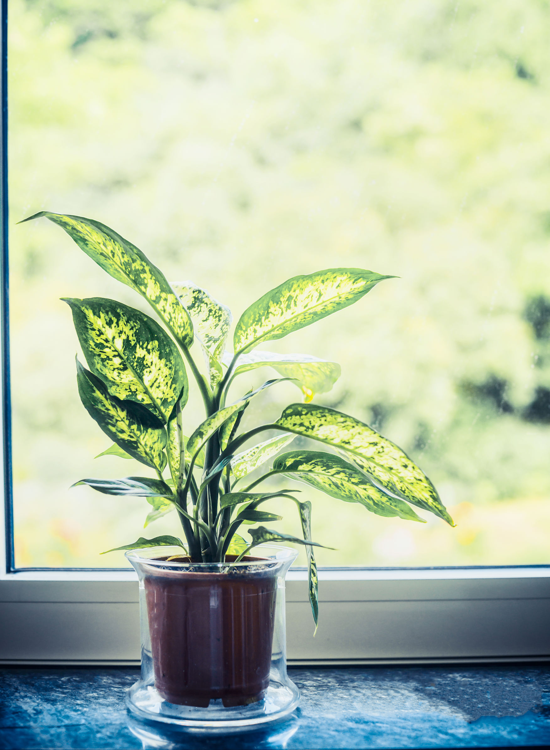 Indoor plants dumb cane