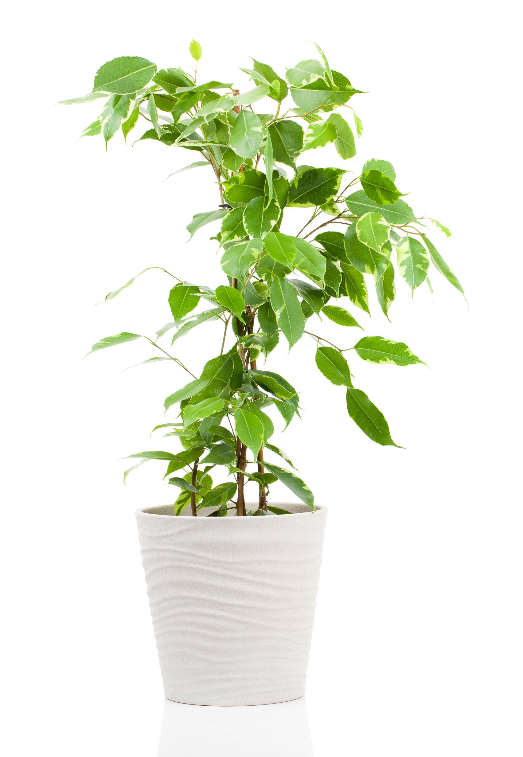 Ficus benjamina indoor plants