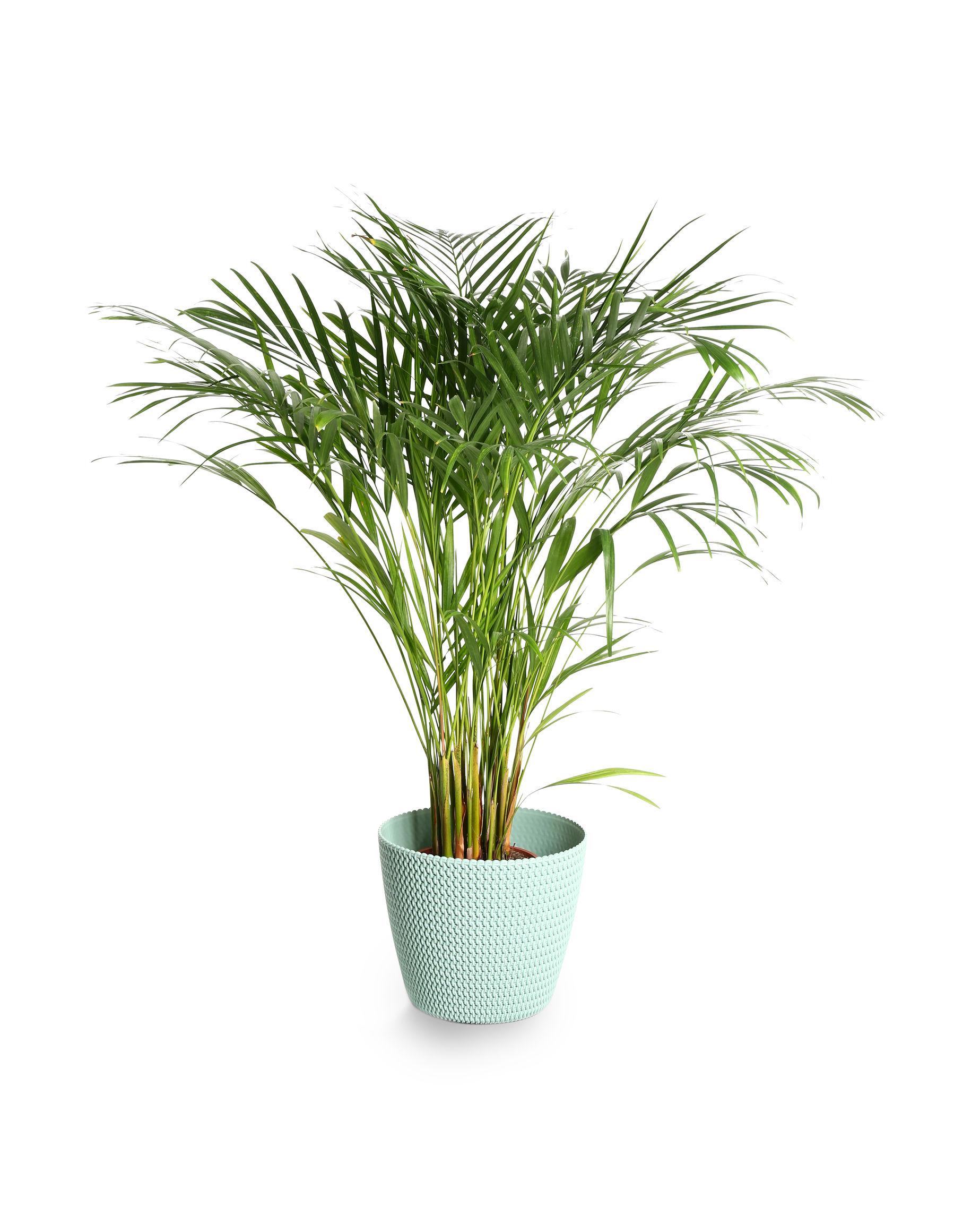 Areca palm indoor plants