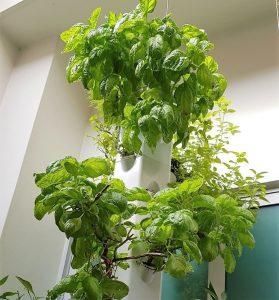 thai-basil-herb-garden-malaysia