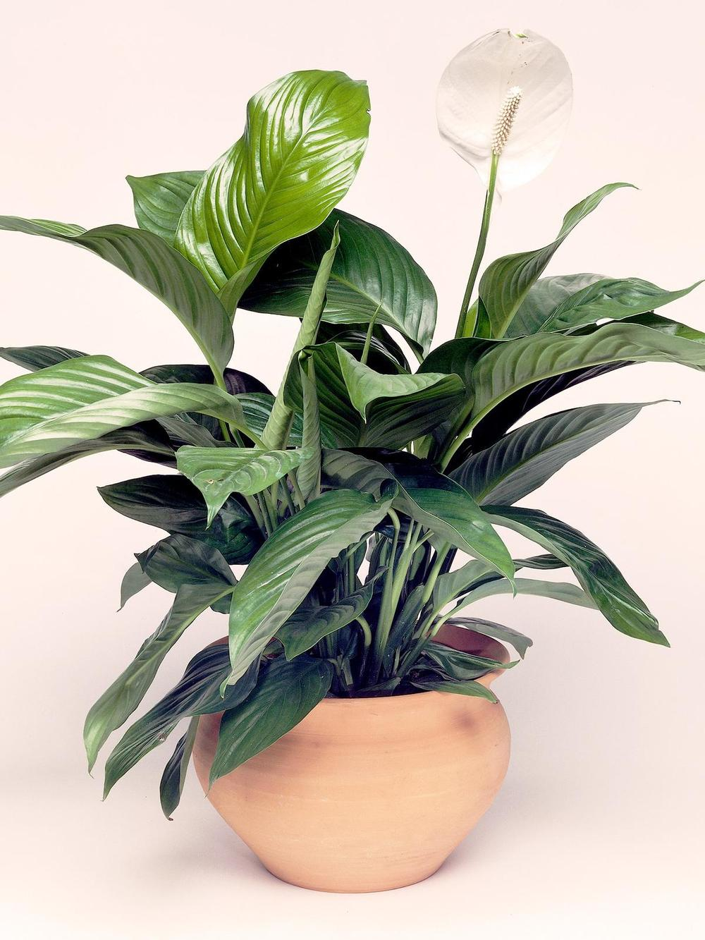 peace-lily-malaysia-indoor-plant