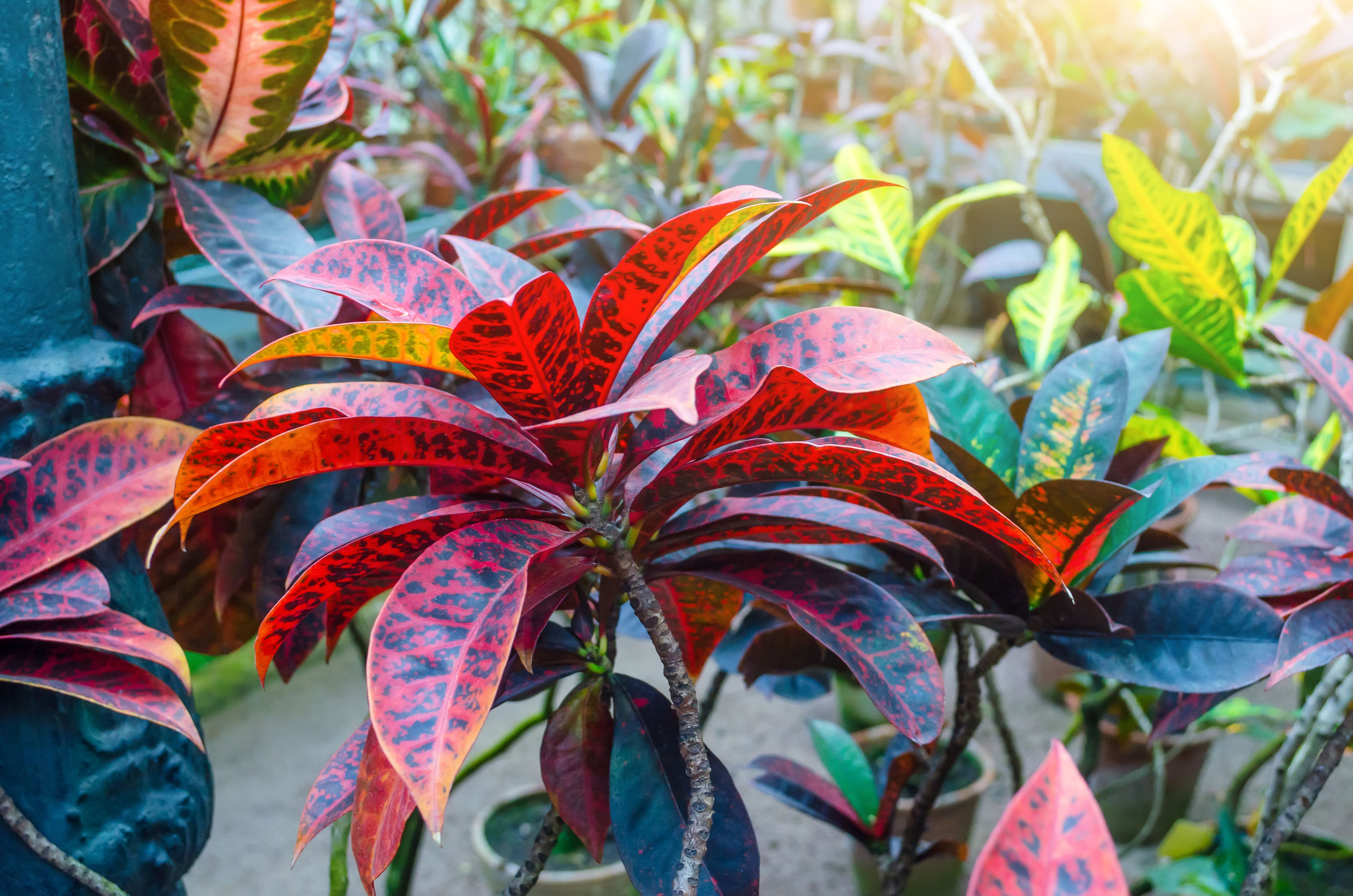 Croton Codiaeum variegatum plants with colorful leaves in tropical garden.