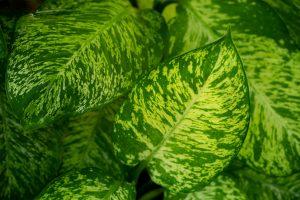 Beautiful green leaves of Dieffenbachia Amoena lucky cane