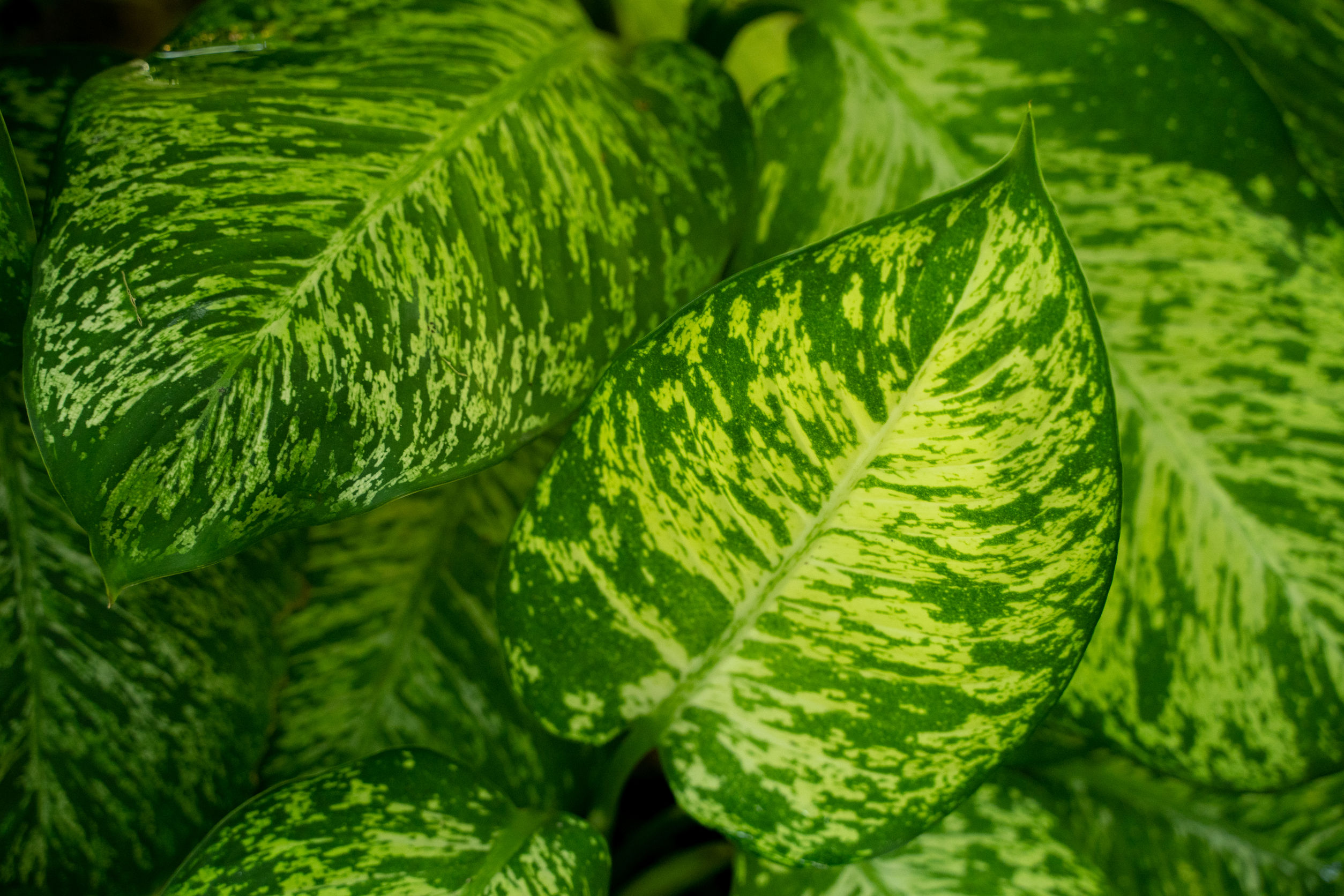 Beautiful green leaves of Dieffenbachia Amoena lucky cane