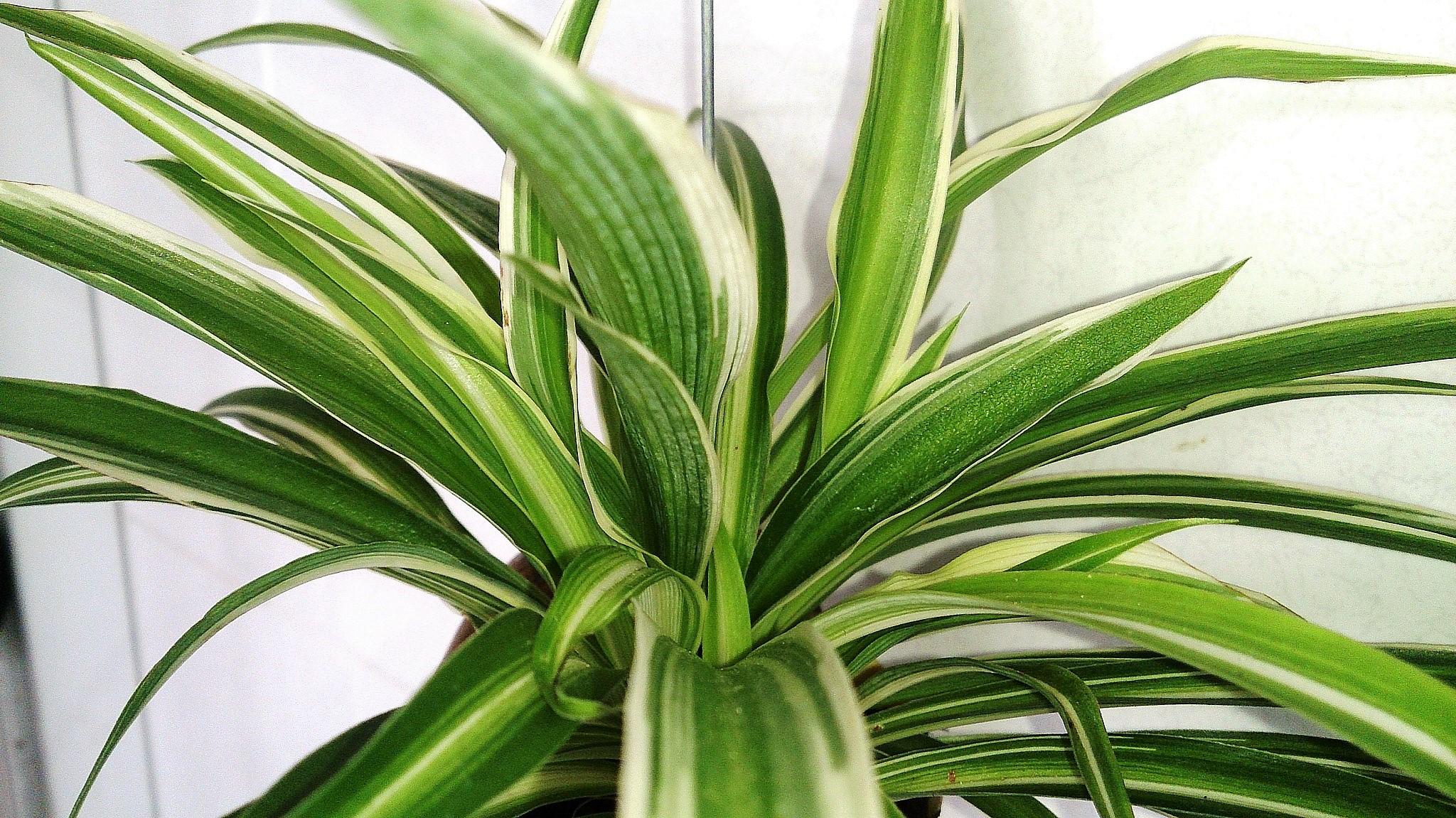 Spider_Plant_Chlorophytum_comosum