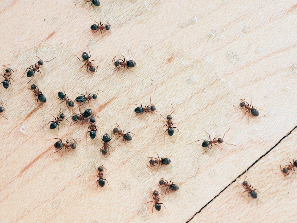 petua hapuskan semut
