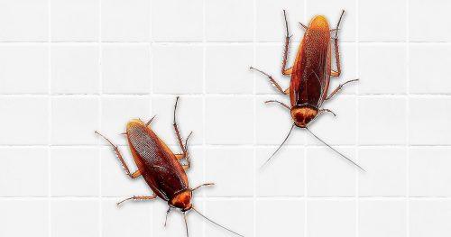 cockroaches1