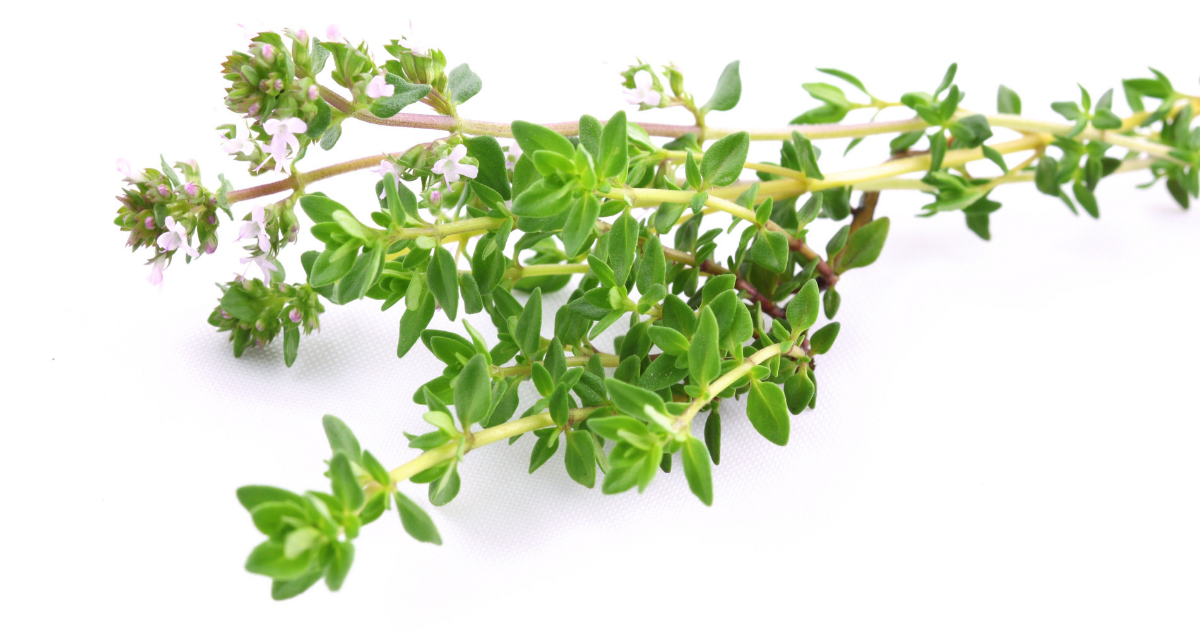 One of the easiest plants to grow in Malaysia, thyme in a pot on the balcony