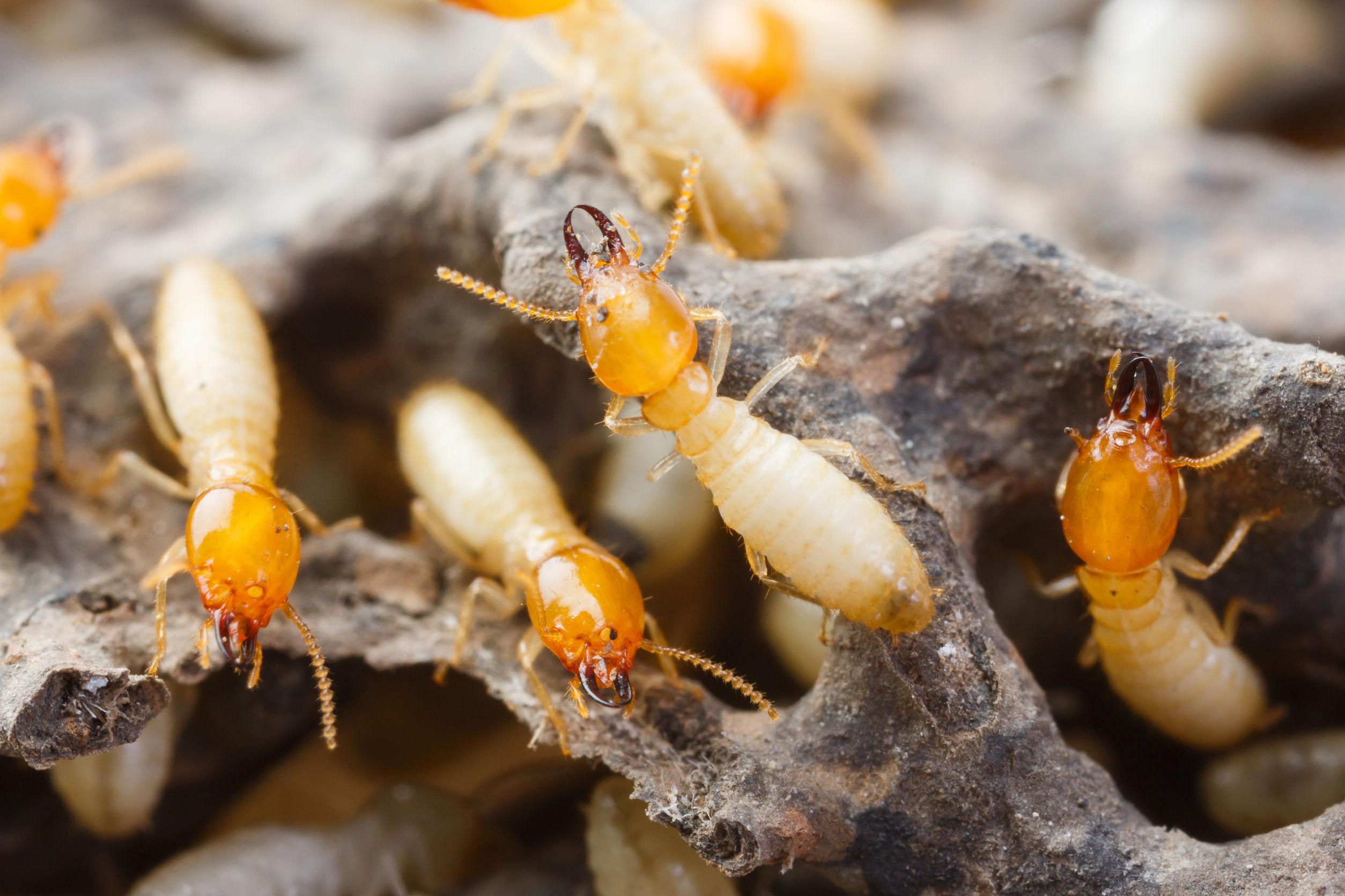 白蚁:如何识别和预防它们