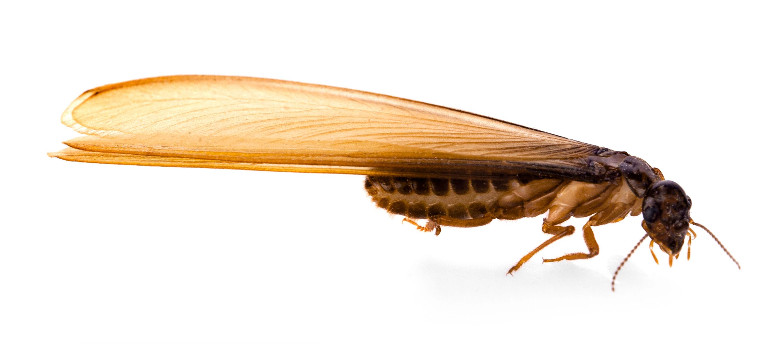 白蚁和飞蚁有什么区别?