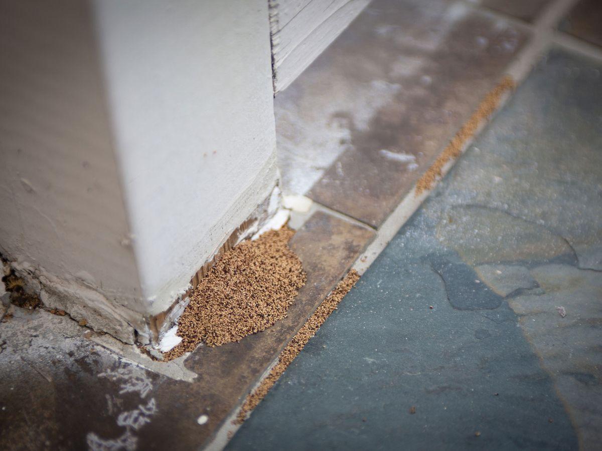 白蚁:如何识别和预防它们 4