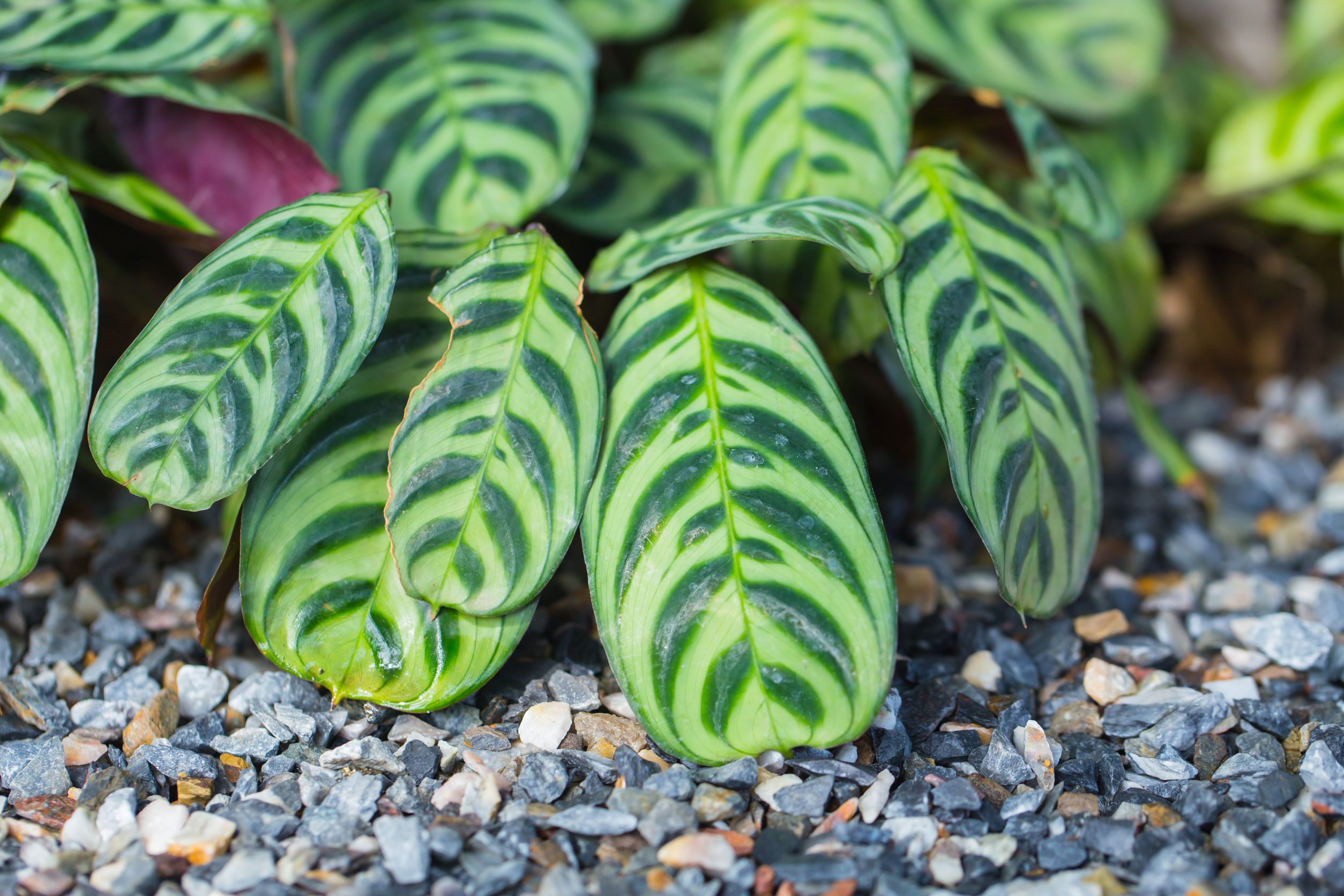 The Calathea plant is non-toxic to cats