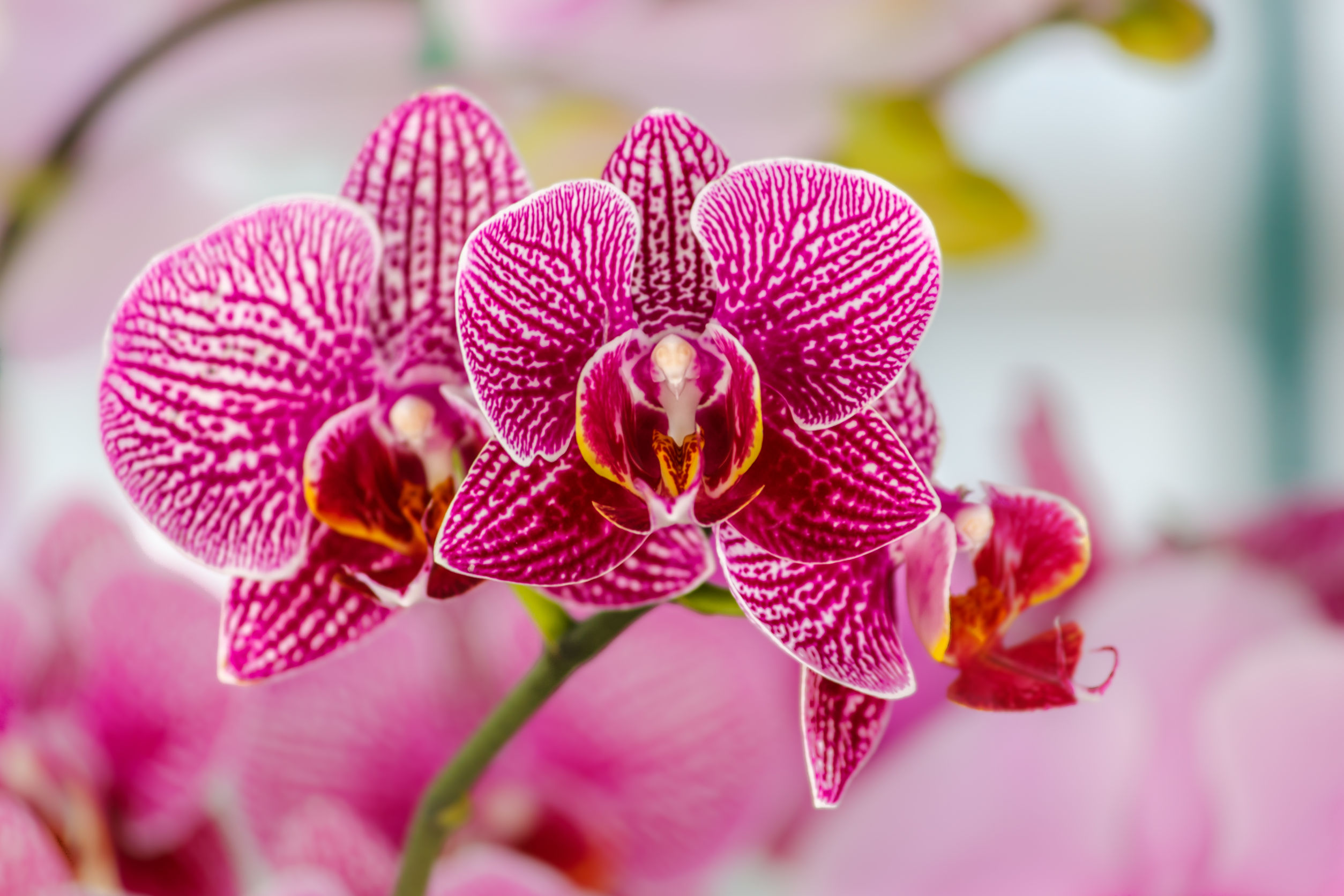 A rare pink orchid that you can grow at home and is non-toxic to cats