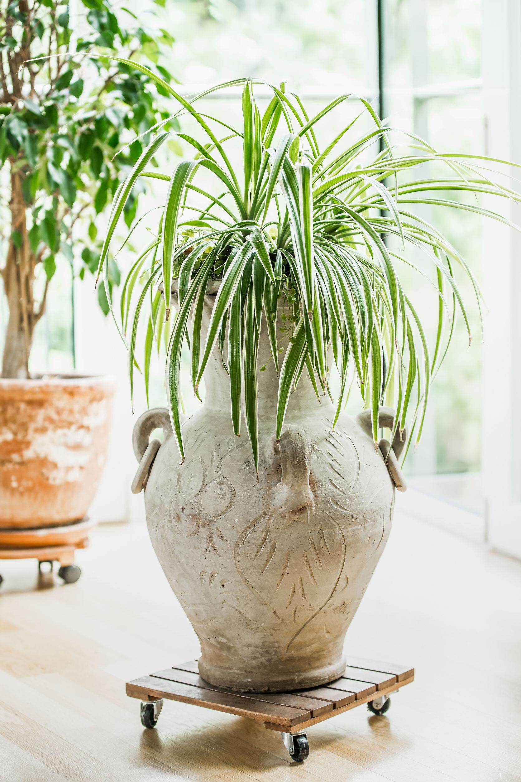 The Spider Plant (Chlorophytum Comosum) requires little sunlight to survive.