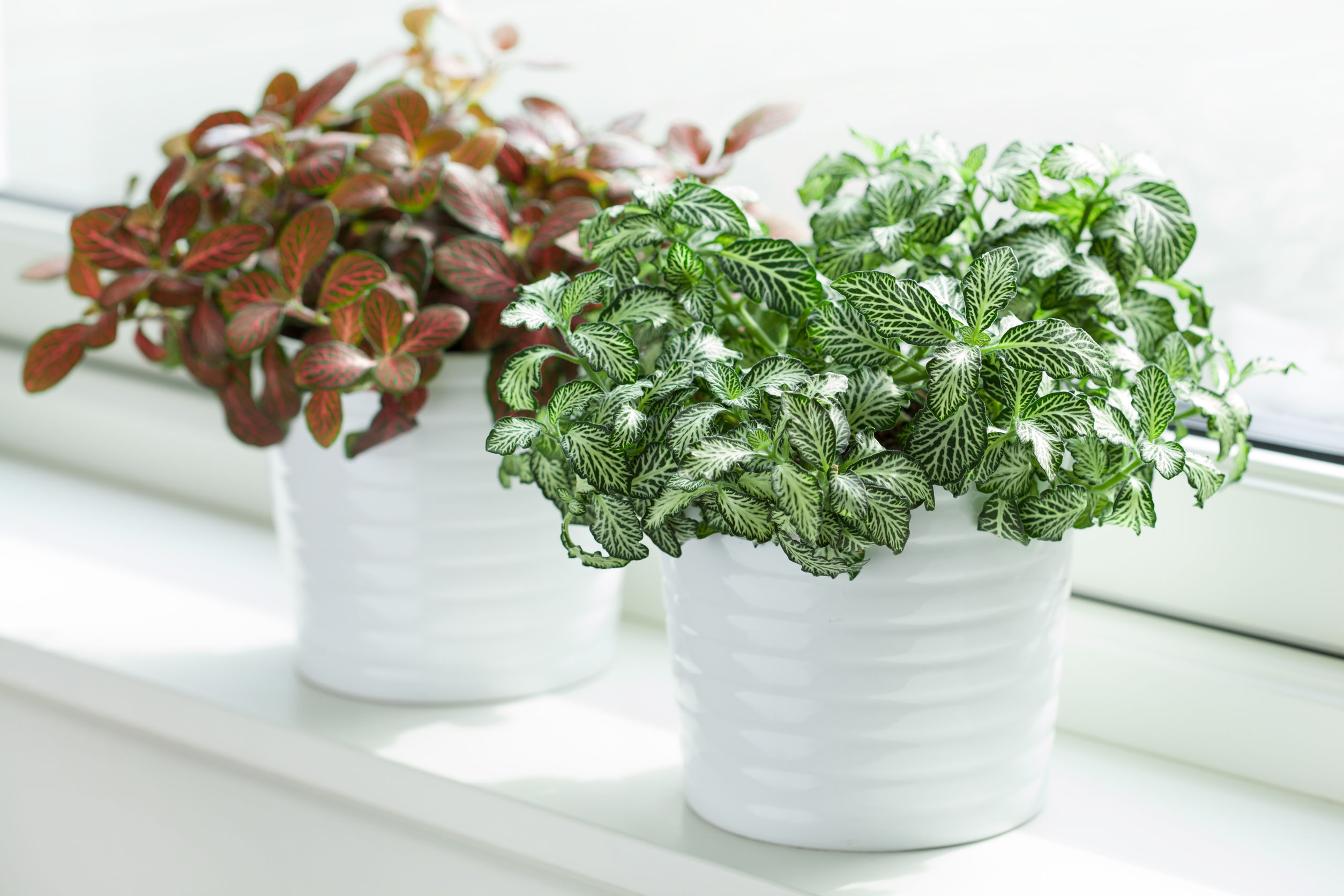The fittonia house plant is a common household plant that is non-toxic to cats
