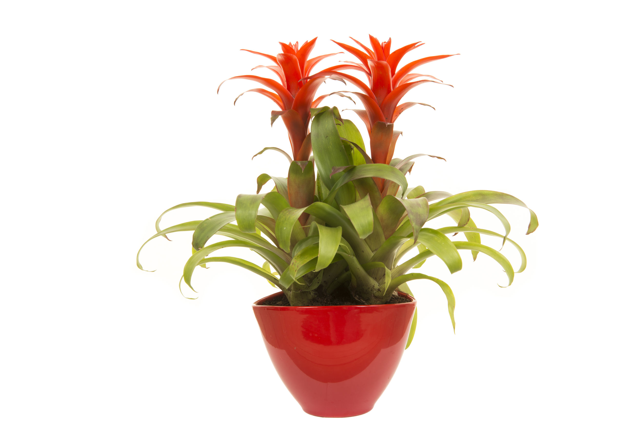 Bromeliad is a common household plant that is non-toxic to cats