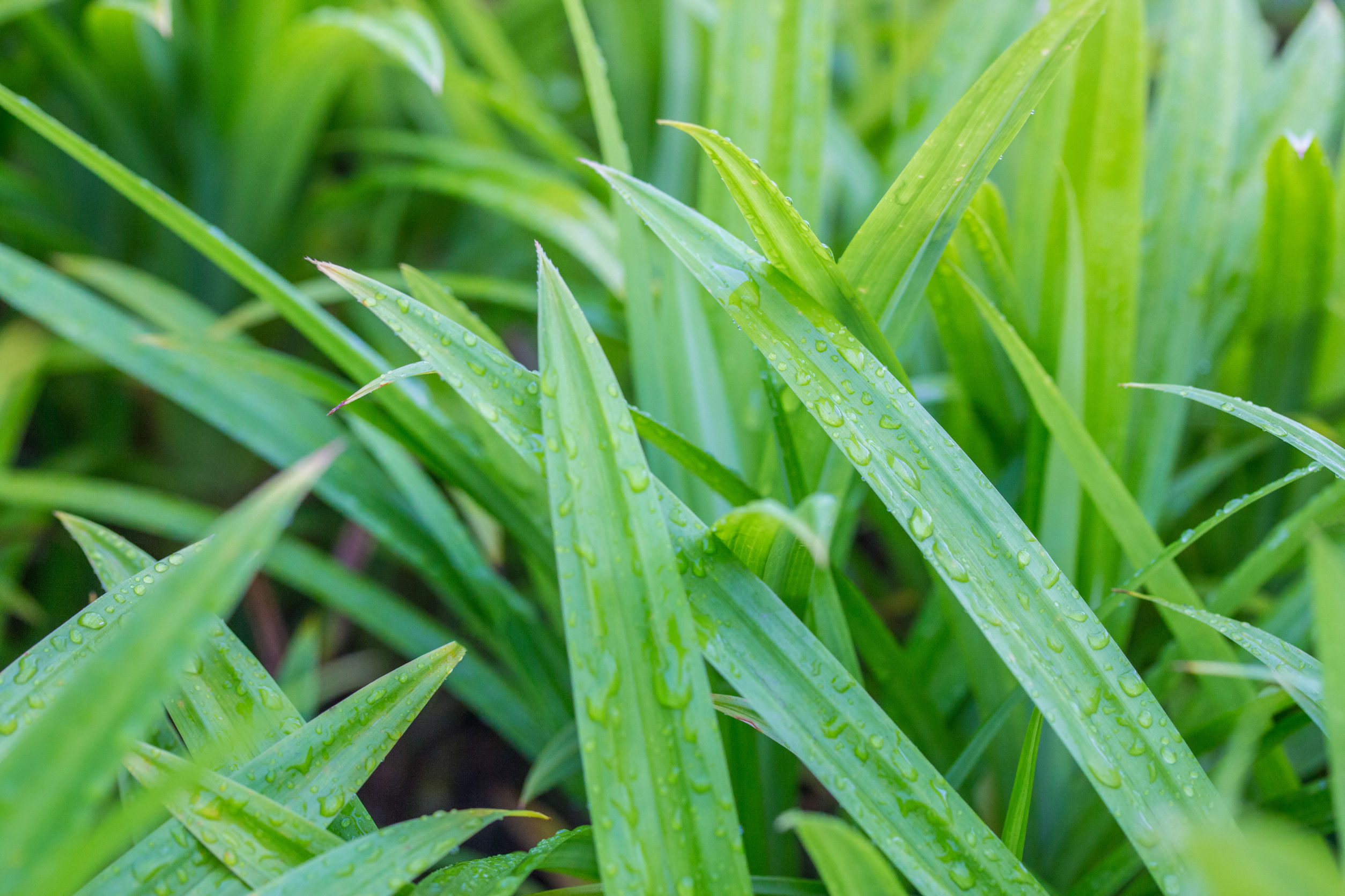 Pandan leaves otherwise known as screwpine leaves is a common garden variety in Malaysia that is non-toxic to cats
