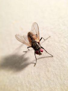 petua-mudah-halau-lalat-buah-dari-rumah-anda