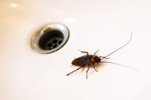 Cockroaches in the sink