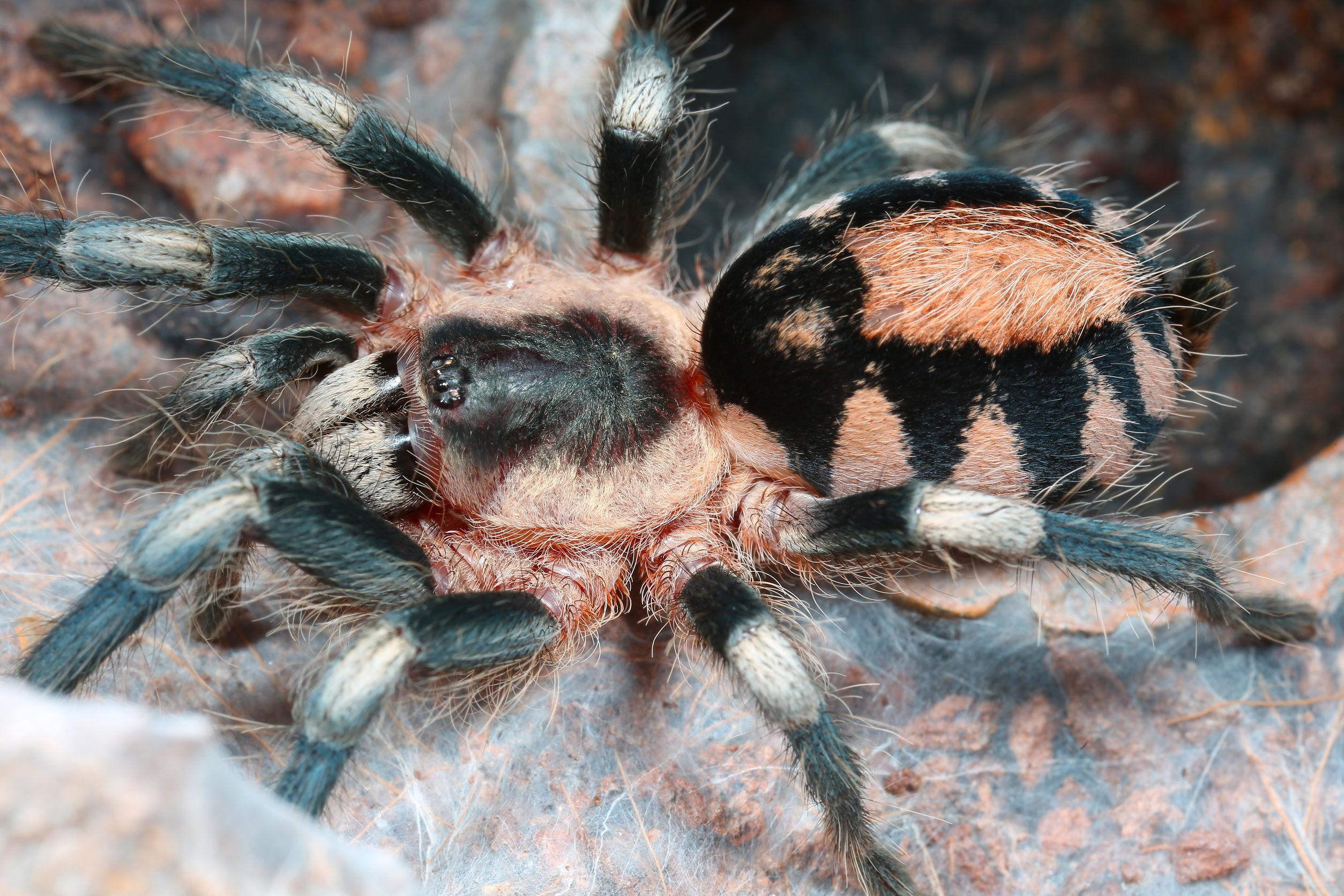 Tarantula closeup