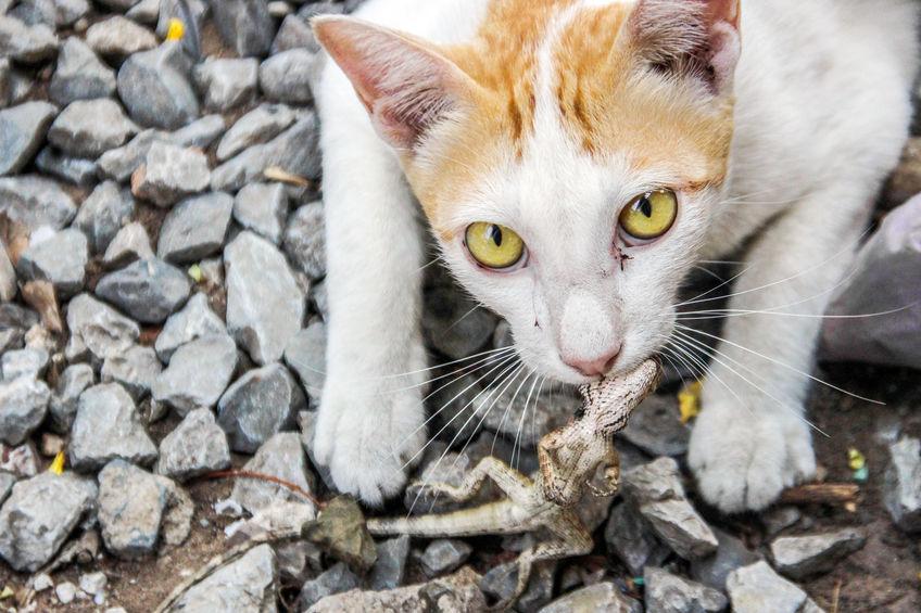petua-halau-cicak-bela-kucing