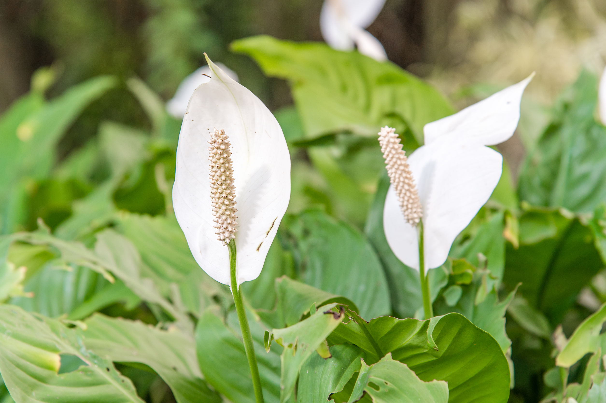 Peace Lily - Spathiphyllum wallisii requires very little sunlight to survive.