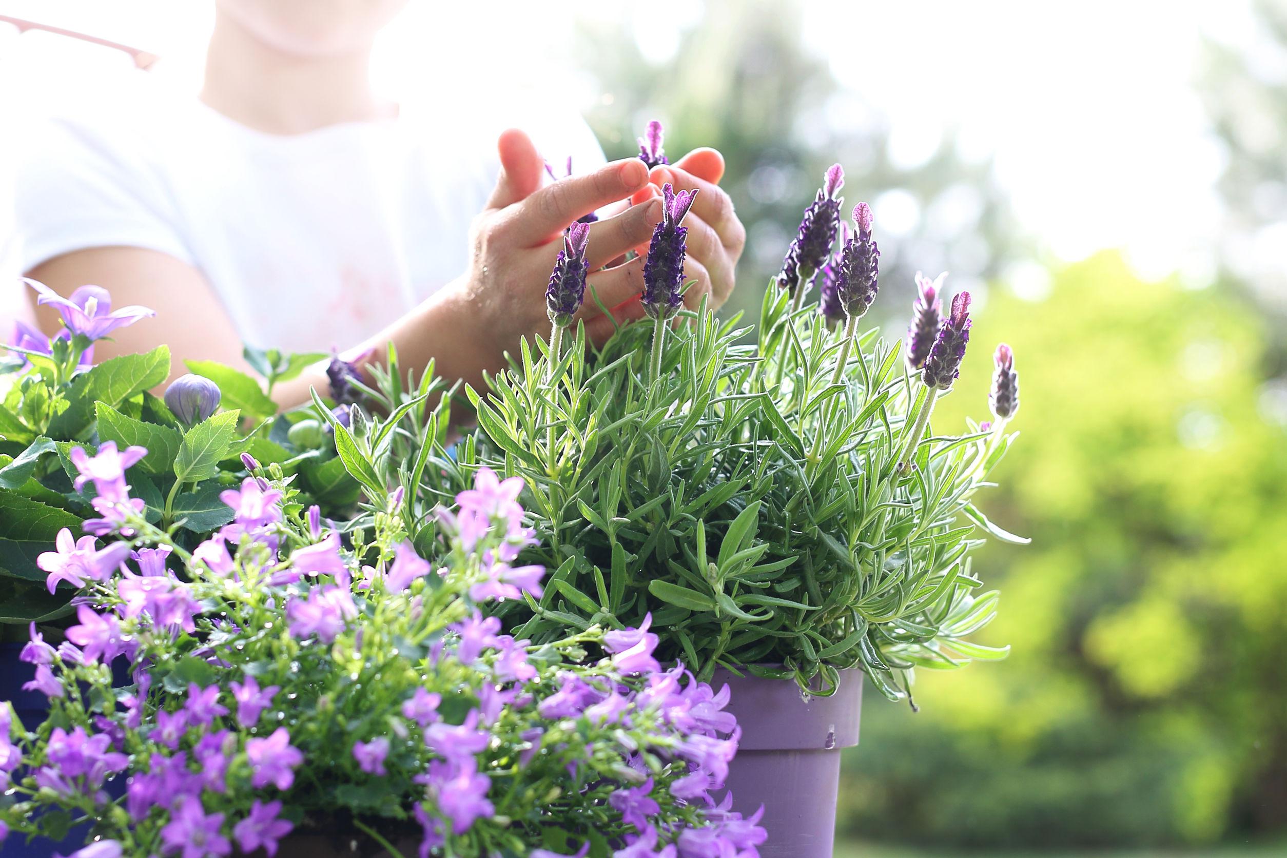 beautiful garden Lavender flower arrangement