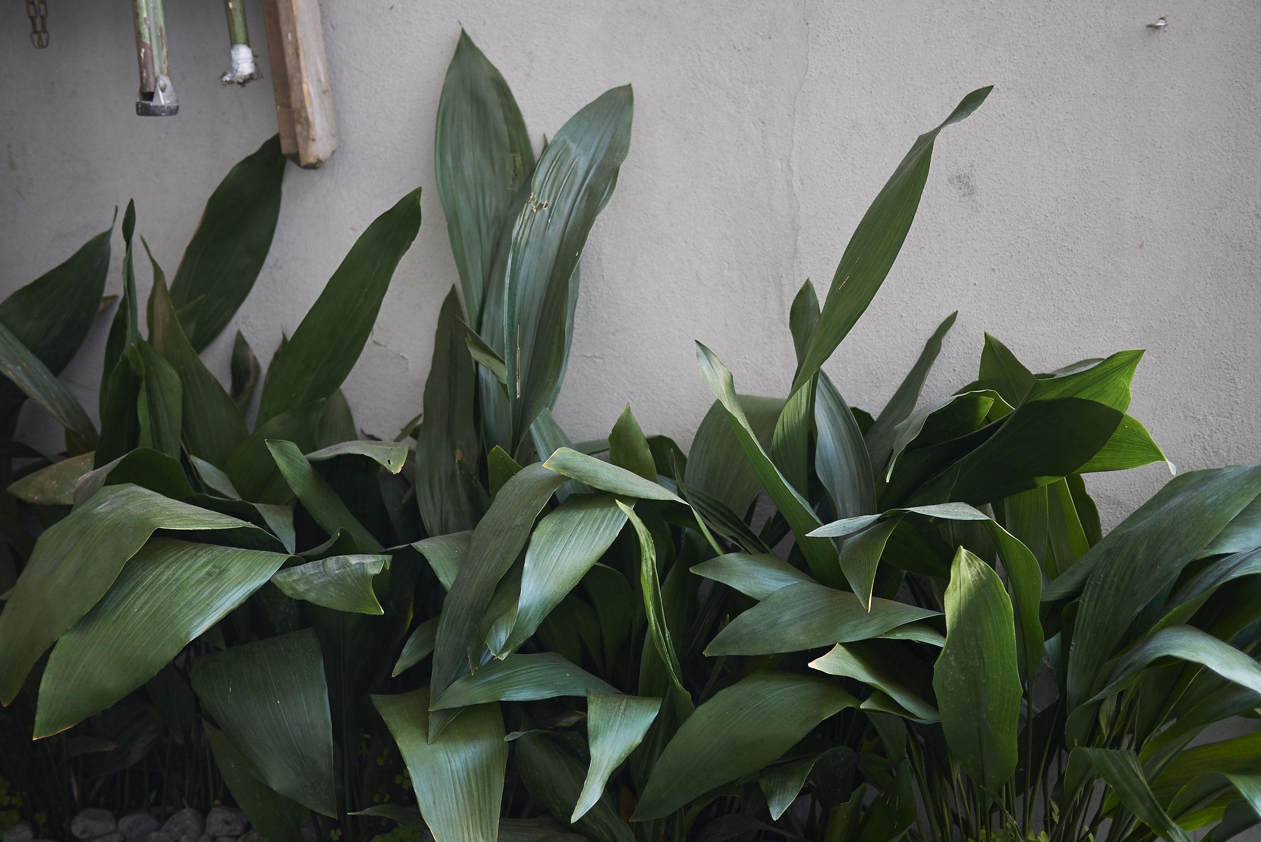 Cast Iron Plant (Aspidistra Elatior) thrives best with little to no sunlight.