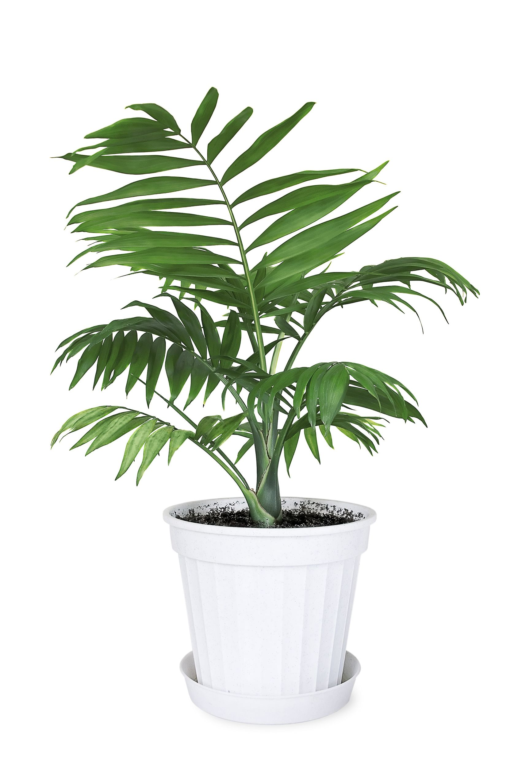 Parlor Palm (Chamaedorea Elegans) can grow in any condition and requires minimal care.