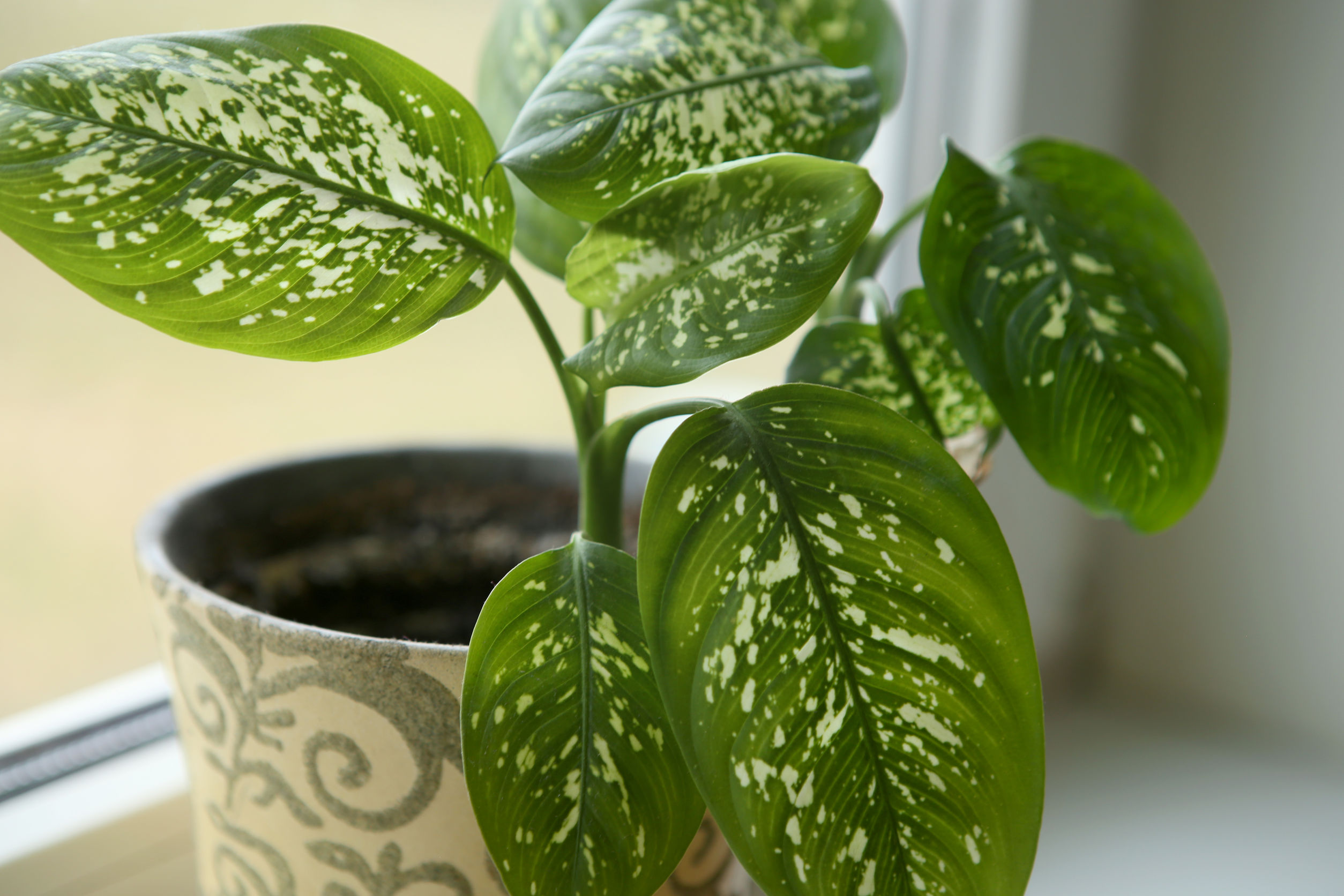 Dumb Cane (Dieffenbachia) can survive anywhere in the house, requires little care and thrives on little sunlight.