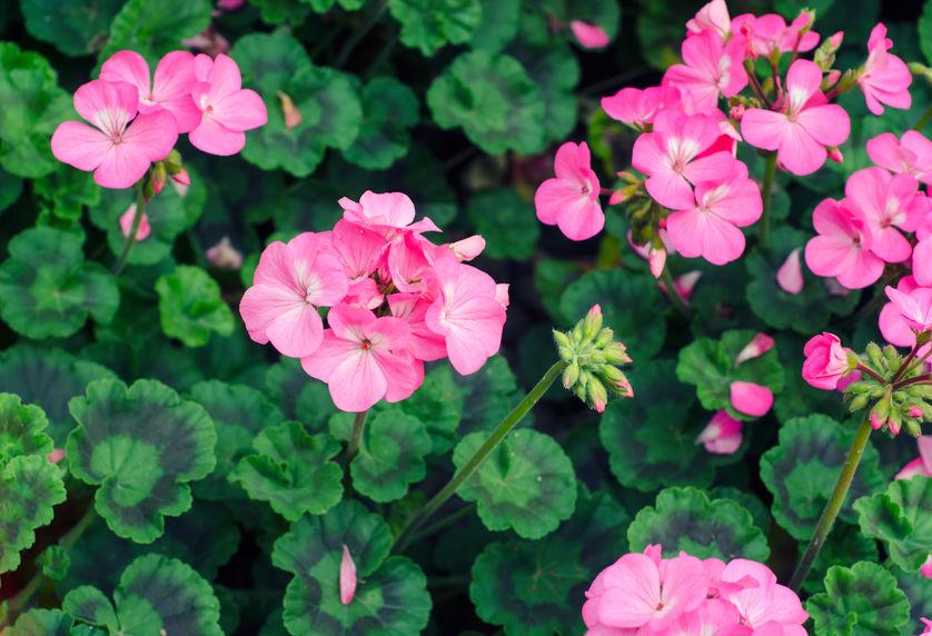 petua-halau-nyamuk-geranium