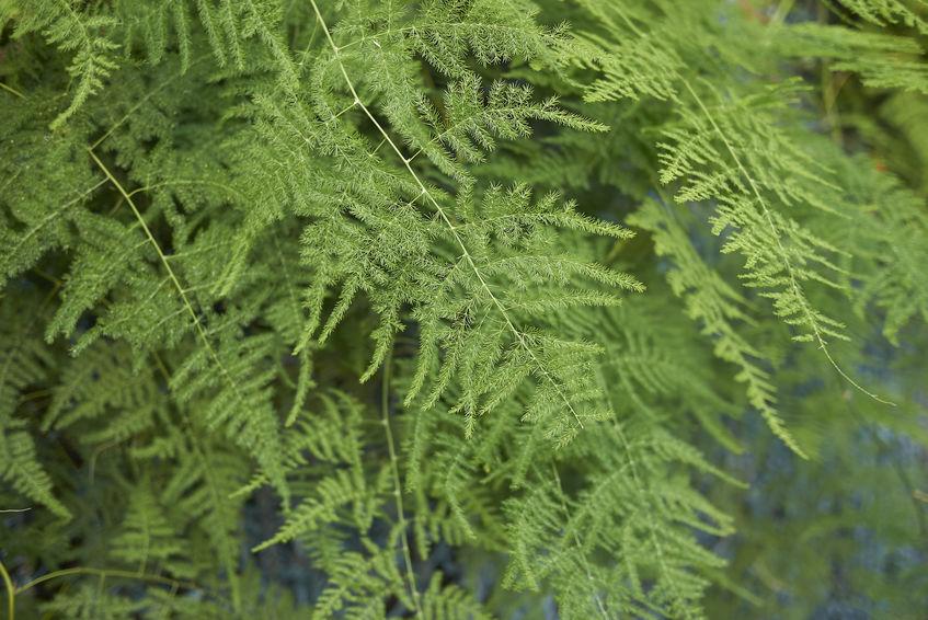 indoor-plants-asparagus-fern