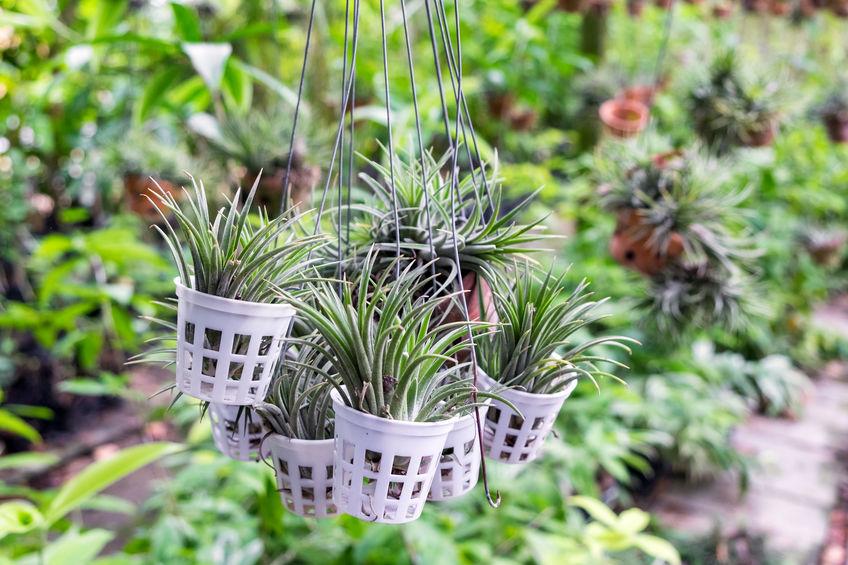 Tillandsia-air-plant-malaysia