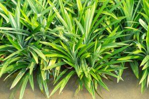 pandan-plant-indoor-plants-hard-to-kill