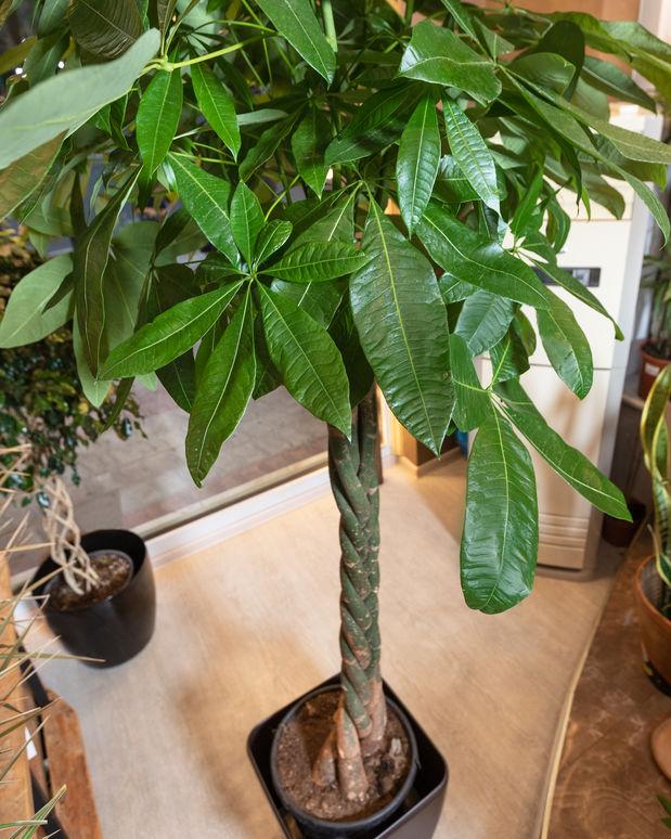 Money tree (Pachira aquatica) indoor tree