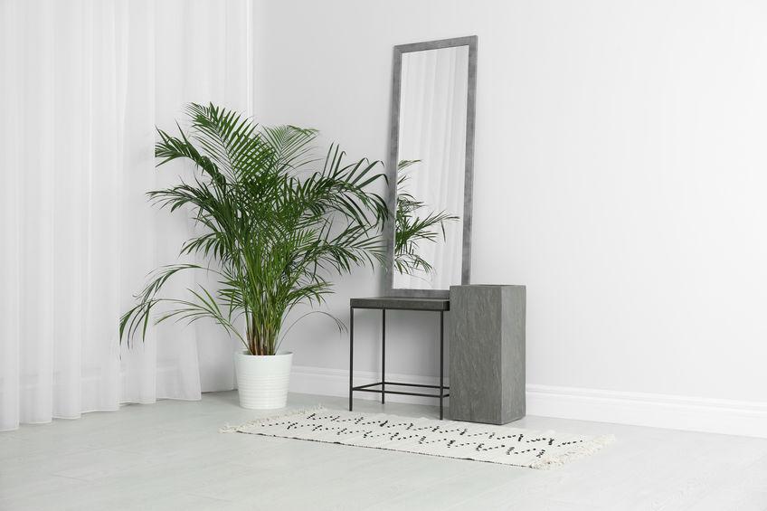 Majesty palm (Ravenea rivularis) indoor tree