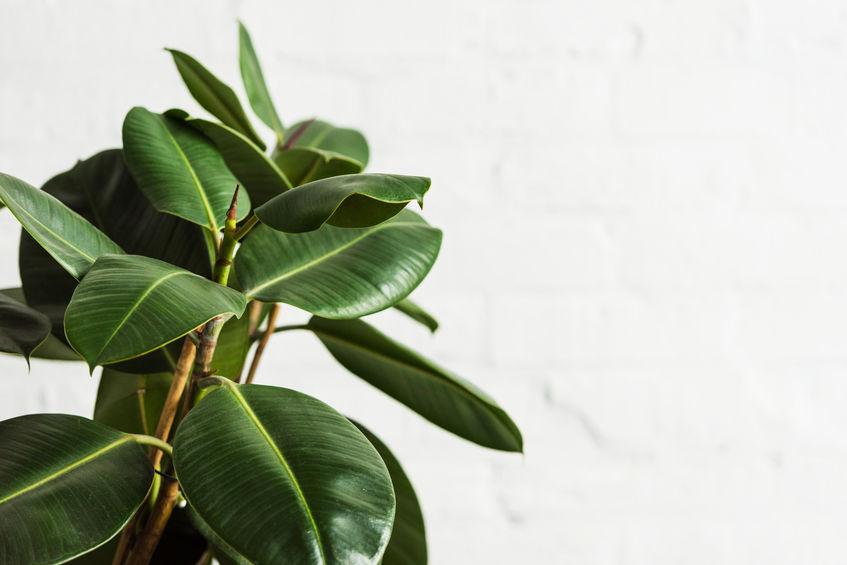 Rubber plant (Ficus elastic) indoor tree