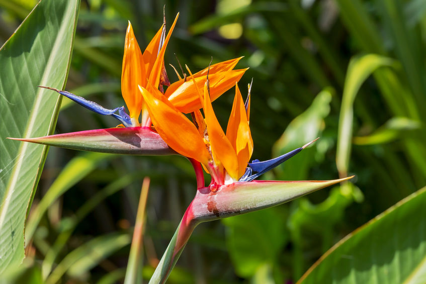 Birds of paradise (Paradisaeidae) flower indoor tree