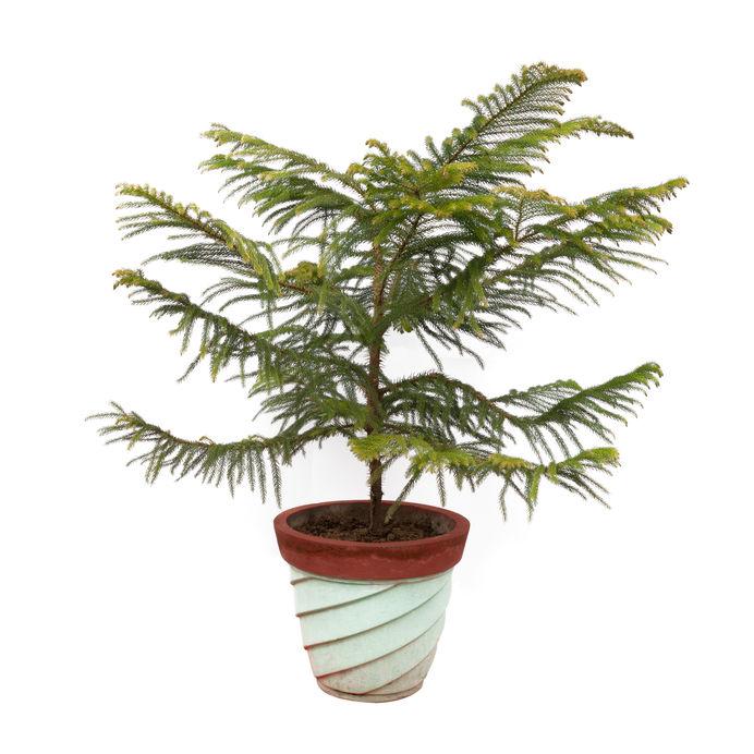 Norfolk island pine (Araucaria heterophylla) indoor tree
