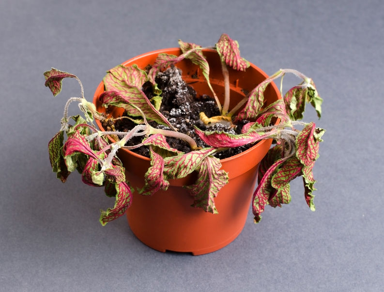 wilted fittonia nerve plant