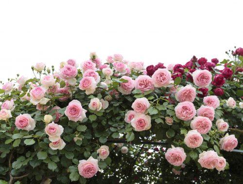 Cara tanam bunga ros
