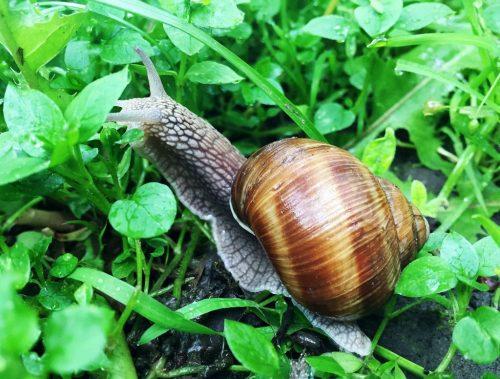 Siput-Babi-Giant-African-land-snail