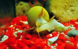 Gondang-Emas-Golden-apple-snail