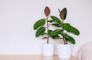 Rubber-Plant-Ficus-Elastica-How-to-Grow-and-Care-for-It
