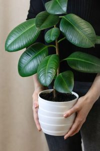 how-to-grow-rubber-plant-ficus-elastica