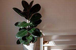 rubber-plant-ficus-elastica-in-filtered-light