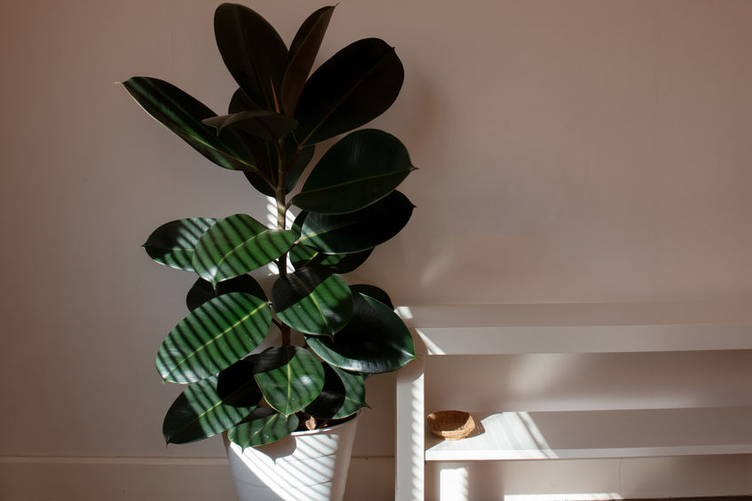 rubber-plant-ficus-elastica-in-filtered-light