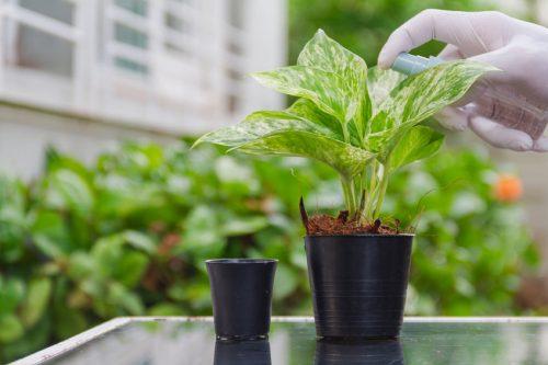 cara mudah tanam pokok hiasan money plant